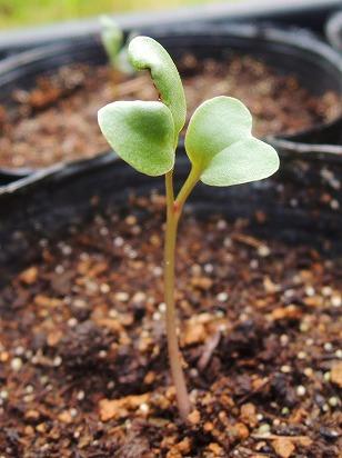 カリフラワー パープルフラワー 発芽 (1)