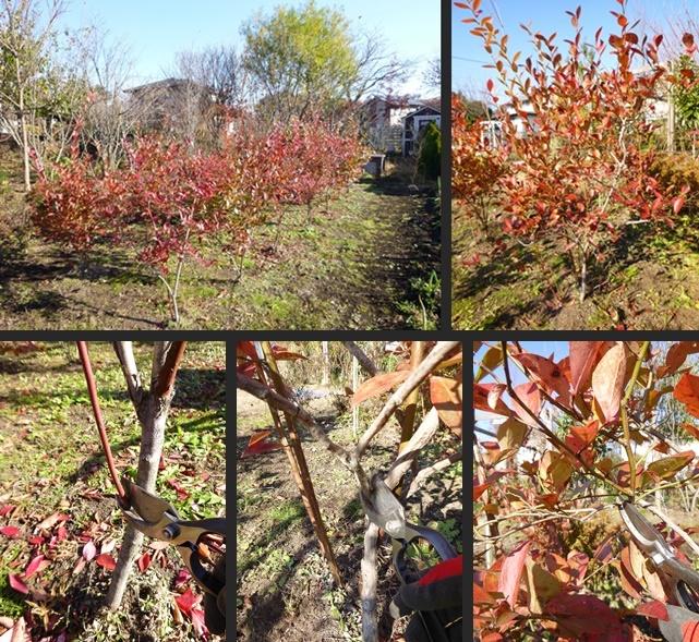 HAYAKAWA Garden&Farm ブルーベリーの剪定や寒肥等をしました!