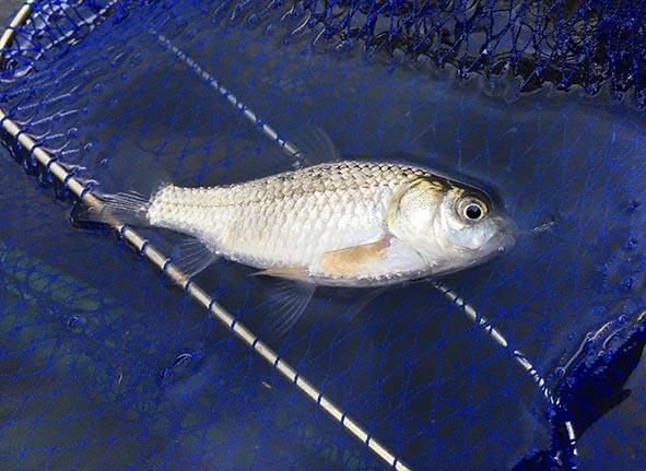 近所の川は魚種が豊富!? - ただ、キャンプと釣りがやりたいんです。