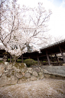 $さんアイアイ-2011桜3