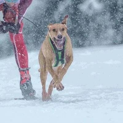 harnais de traction pour chien Blizzard Beast