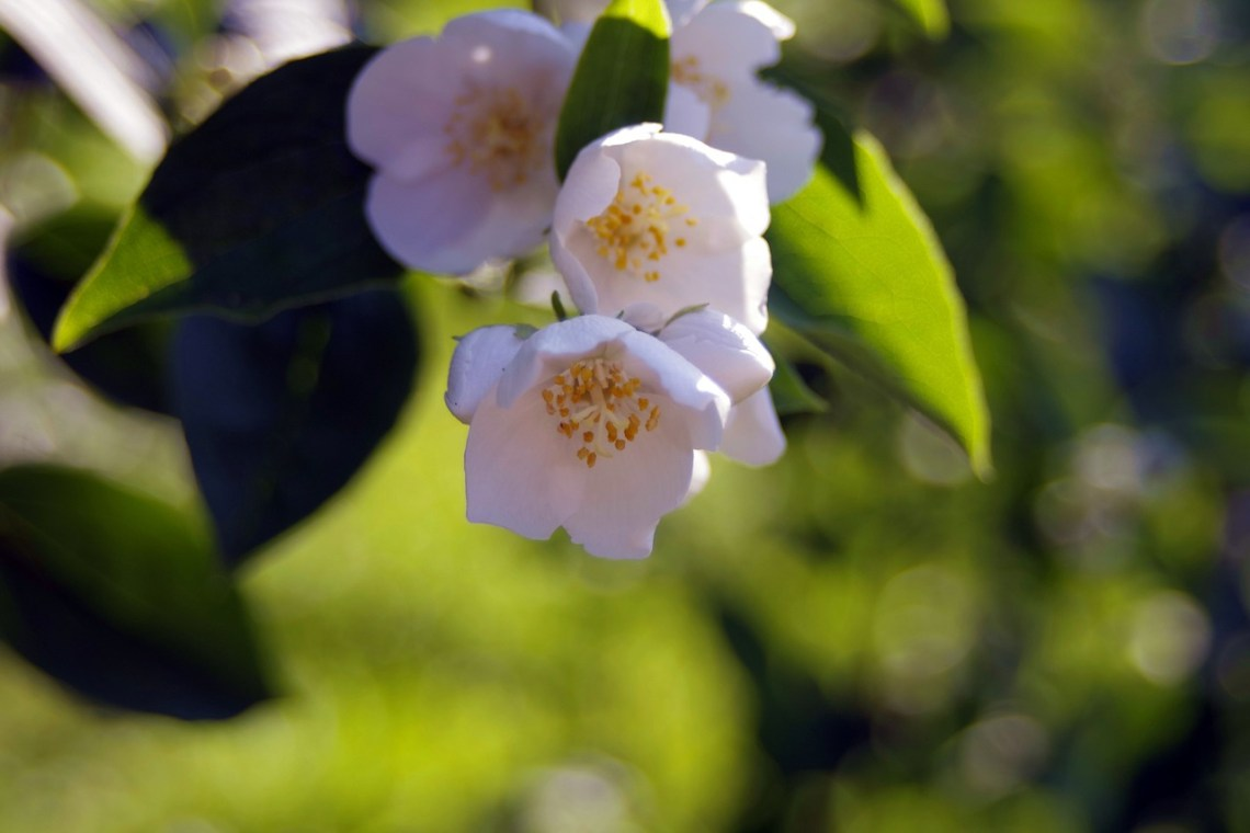 white-flowers-1439370_1280