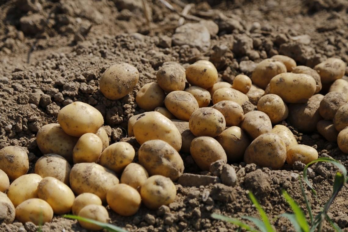 potato-983788_1280