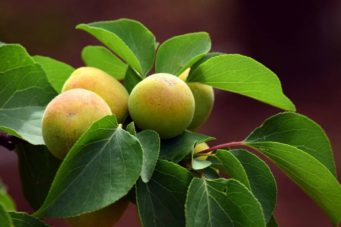 apricot-3432385_1280