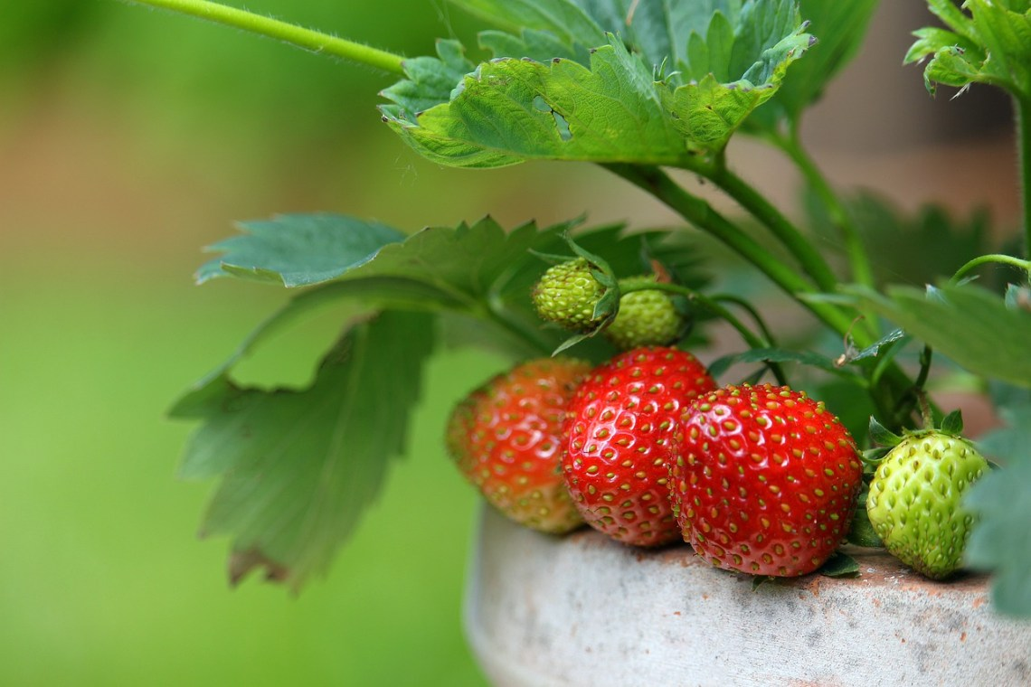 strawberries-4284091_1280