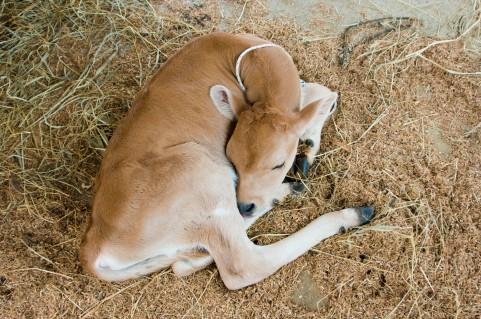 ジャージー種の子牛