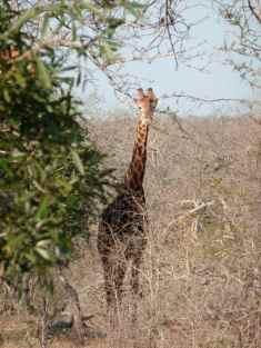 Girafe.