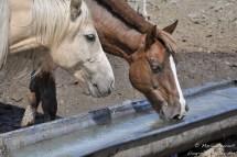 Des chevaux.