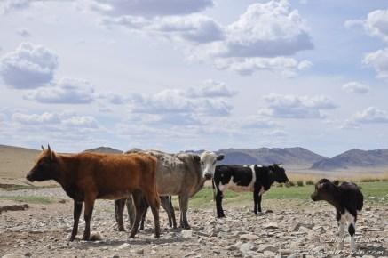Des vaches.