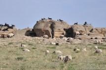 Moutons et biquettes.