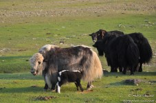 Les yacks (Mongolie).