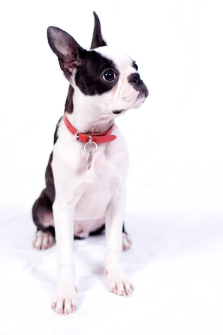 Jack - Boston Terrier