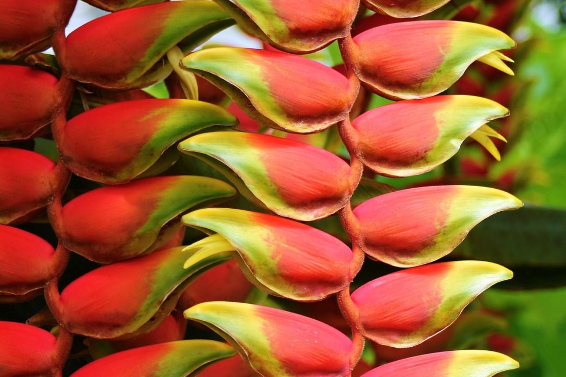 Tout savoir sur la plante Heliconia