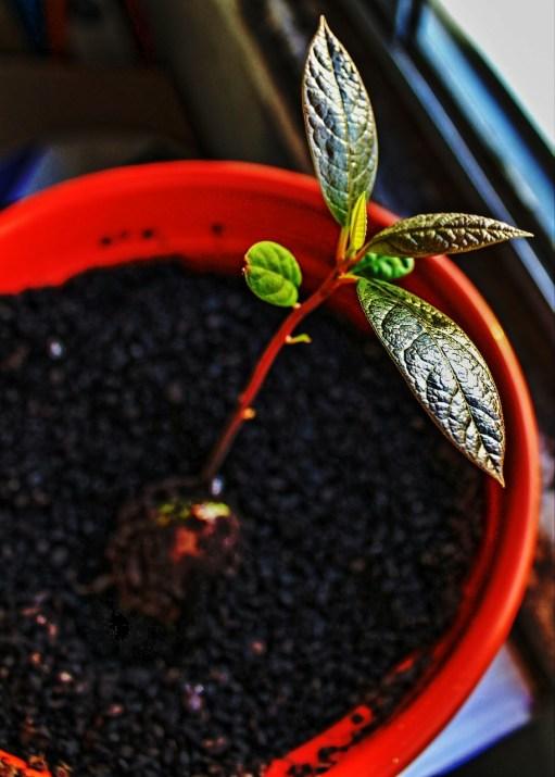 avocado-tree-1305977_1280
