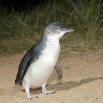 Mini-Pinguine in Australien