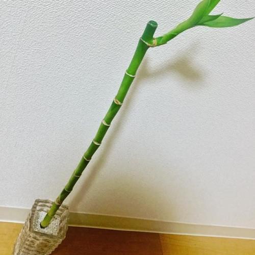 全部100円ショップで買ってきた(笑) #バンブー #花瓶 #ハイドロカルチャー #水耕栽培 #観葉植物 #100円ショップ #ダイソー