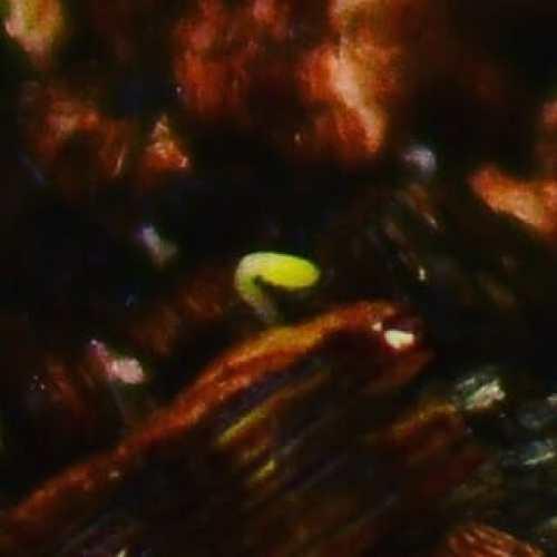 よく見えないから、一眼レフで撮ってみた(笑) #ペパーミント #ミント #ハーブ #水耕栽培 #ハイドロカルチャー #peppermint #mint