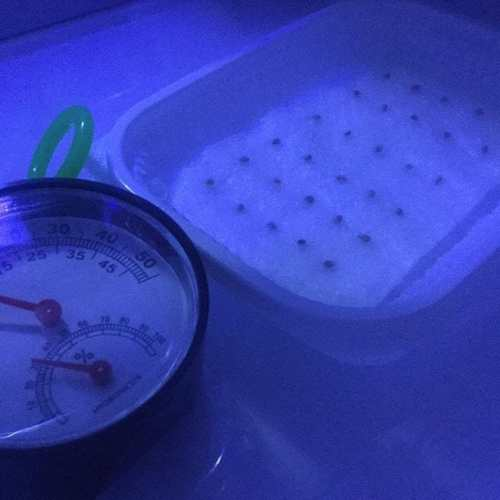#ローズマリー の #発芽率 が上がるコトを期待して #冷蔵庫 に入れて #低温処理 なう。 #水耕栽培 #ハイドロカルチャー #hydroculture #rosemary