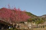 高知市から30分で行けるオススメの梅見スポット(^O^)