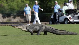 Gator on the Golf Course