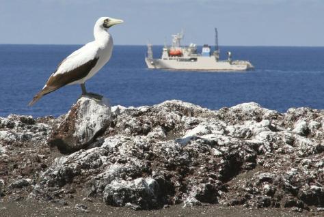 小笠原諸島・西之島への上陸調査で確認されたアオツラカツオドリ。噴火後島に戻り定着したとみられる=20日(環境省提供)