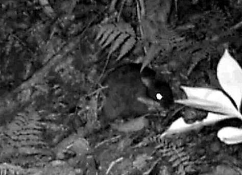 巣穴に運ぶ葉を集めるアマミノクロウサギ=2015年10月30日、鹿児島県奄美大島、浜田太さん撮影