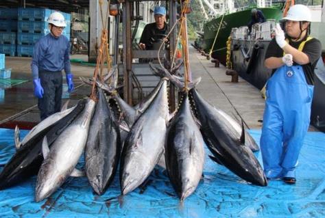 クロマグロ=鳥取県境港市の境漁港
