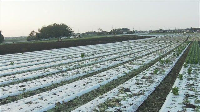収穫前のレタス1500個盗まれたか 茨城