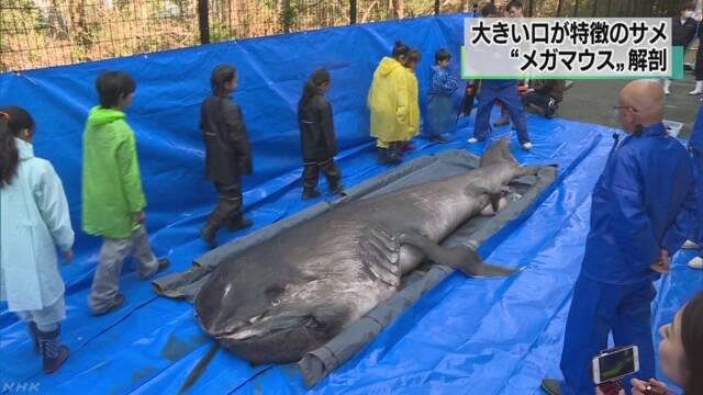 巨大サメ「メガマウス」を解剖 生態の解明なるか