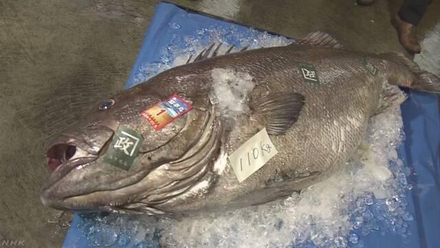 110キロの巨大深海魚 鳥取沖で網に