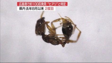 広島港国際ターミナルで発見「ヒアリ」と確認