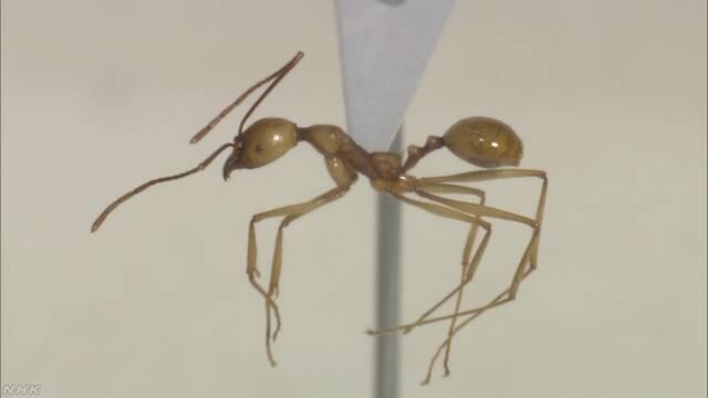 洞窟で新種のアリ見つかる 目は退化して小さく 沖縄 | NHKニュース