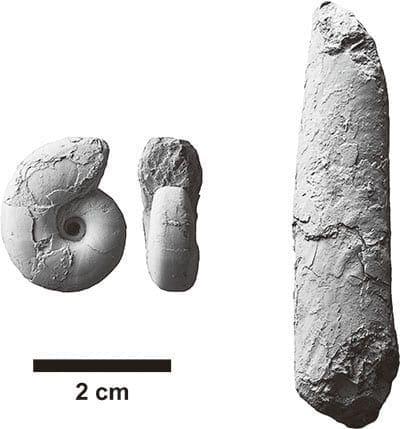 穂別博物館から盗まれたアンモナイトの化石の写真(同館提供)