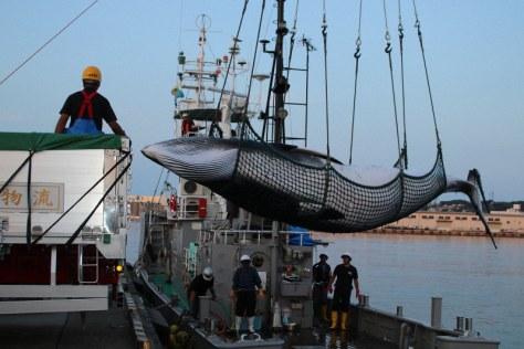 調査捕鯨で捕獲され、トラックに積みこまれるミンククジラ=八戸港で