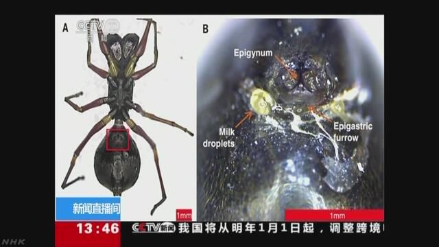 クモなのに「おっぱい」で子育て 中国の研究グループが発見