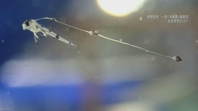 巨大深海魚リュウグウノツカイ 人工ふ化に世界初成功 沖縄 | NHKニュース