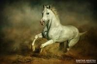 White horse  Running wild