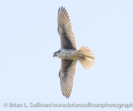Prairie_Falcon_Carmel_Valley_CA_10-20-2010-4