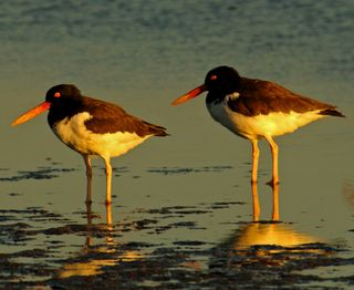 American Oystercatcher by Ted Lee Eubanks