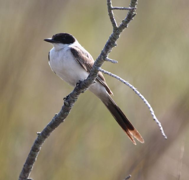 03.16 Fork-tailed Flycatcher, TX