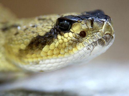 Black-tailedRattlesnake22