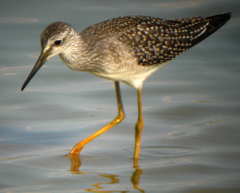 Yellowlegs88
