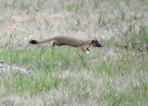 Long-tailedWeasel_Skagway
