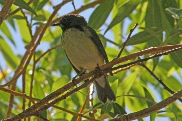 Oregon Warbler
