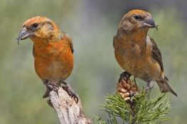 Red_Crossbills_(Male)
