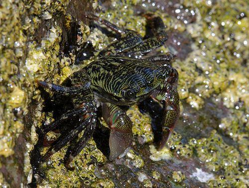 Crab-8