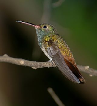 Buff-bellied Hummingbird (2); Quinta Mazatlan, TX; 11 Oct 2005