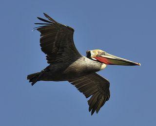 Brown Pelican, Bolsa Chica 20 Mar 2012 600