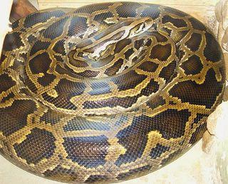 Burmese Python in captivity