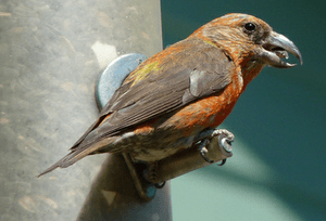 87 Crossbill at feeder